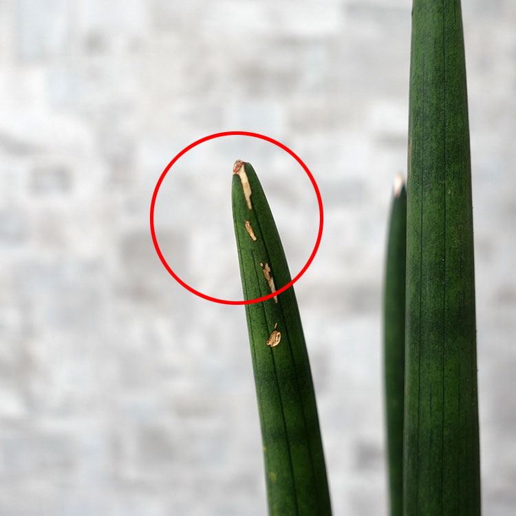 サンスベリア・スタッキー 葉傷の写真