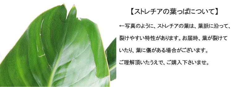 ストレチア・レギネ 葉の注意事項