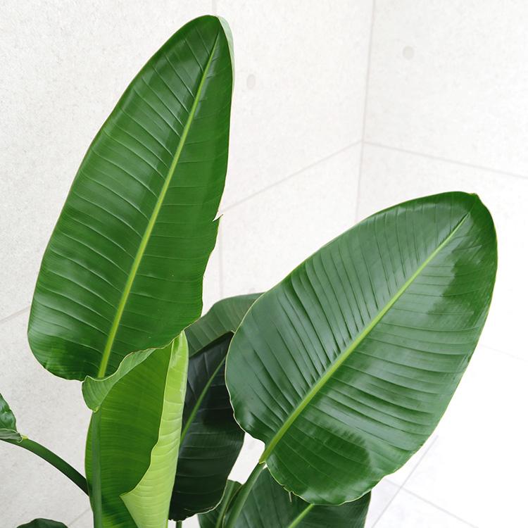 オーガスタ 10号鉢の葉