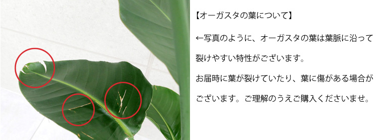 【ご確認ください】オーガスタの葉について