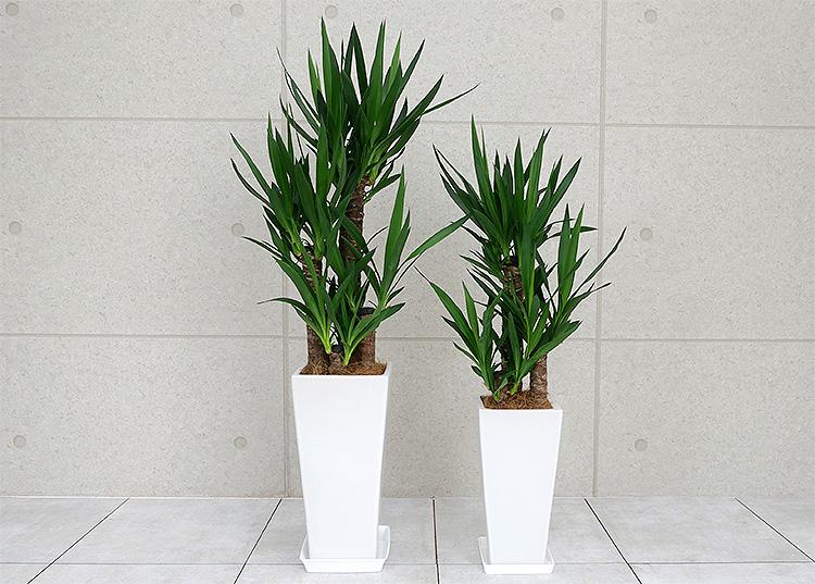 ユッカ(青年の木) 陶器鉢植え LサイズとMサイズの比較