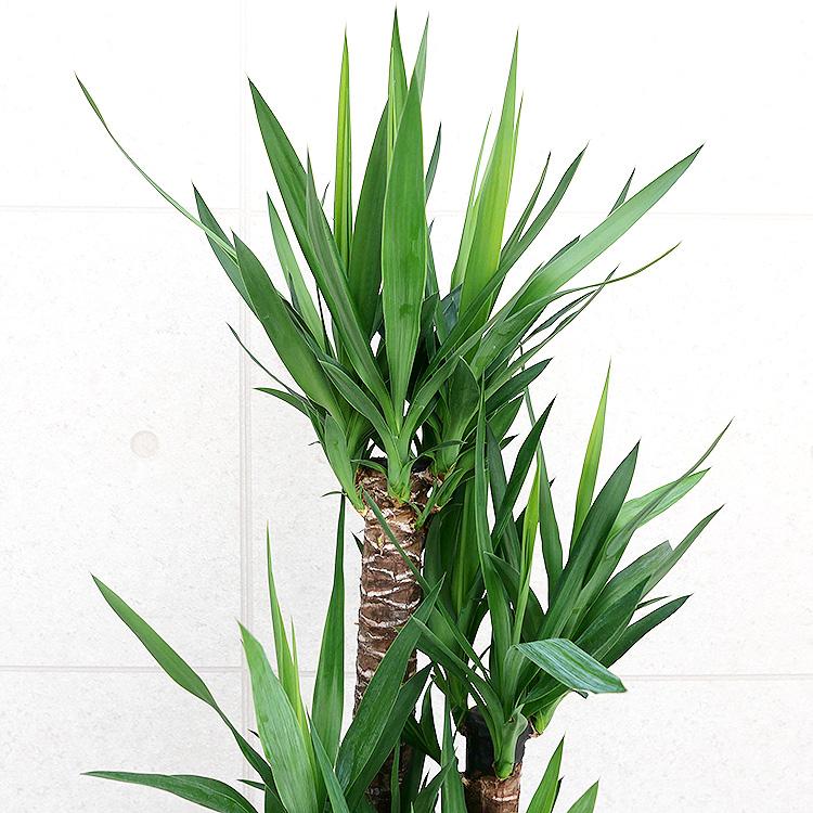 ユッカ(青年の木) 8号鉢 葉の写真