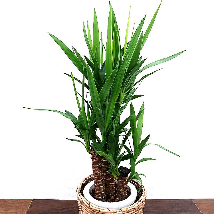 ユッカ(青年の木) 7号鉢 葉の写真