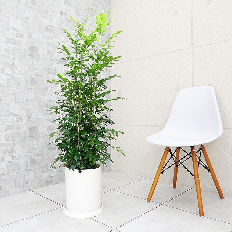 シルクジャスミン 陶器鉢植え・Mサイズ(マットシリーズ/シリンダー)