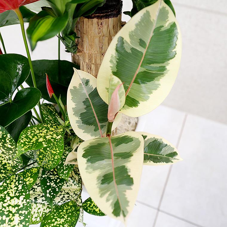 ドラセナマッサン(幸福の木)の寄せ植え 拡大写真