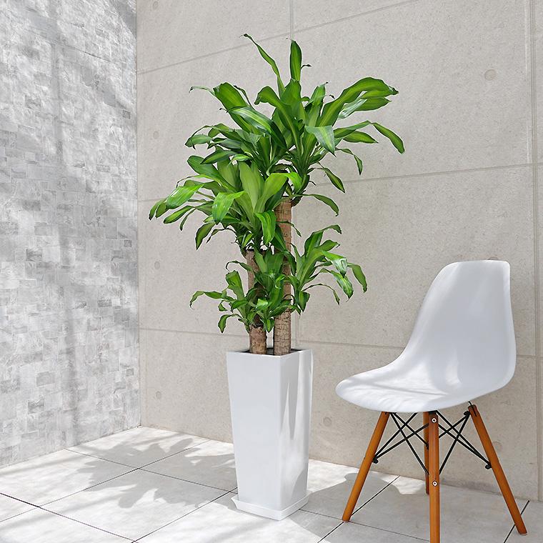 ドラセナマッサン(幸福の木) 陶器鉢植え・Lサイズ