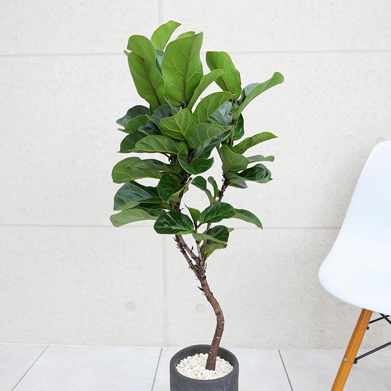 カシワバゴム 樹形の写真