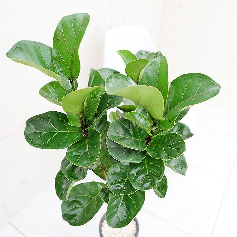 カシワバゴム 葉の写真