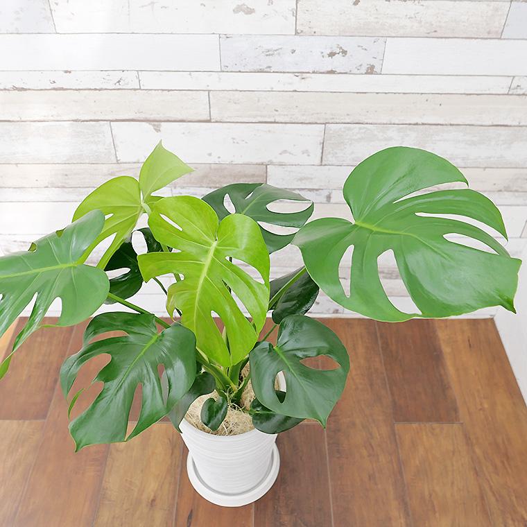 モンステラ 樹脂製鉢植え(12A20)
