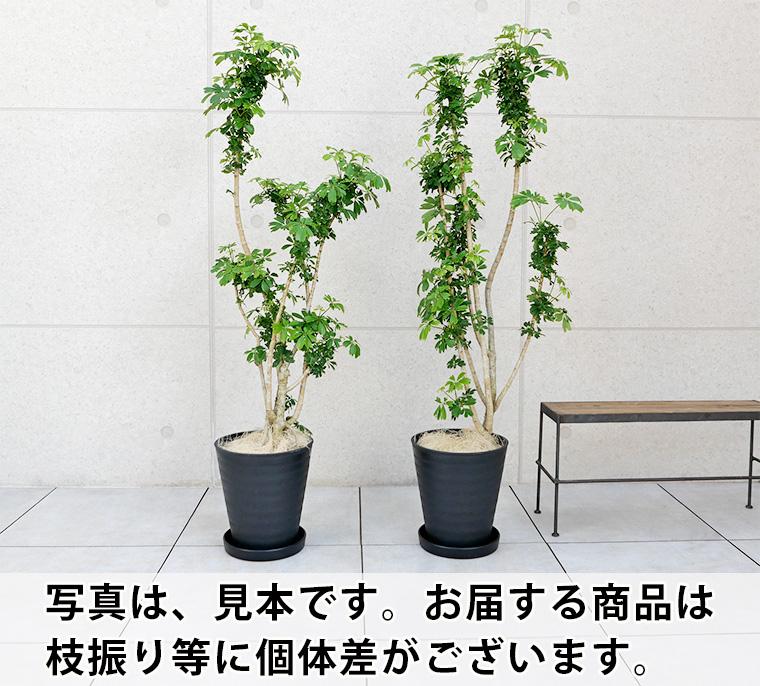シェフレラ・レナータ(金魚葉ホンコン) 8号セラート鉢 枝振りの比較
