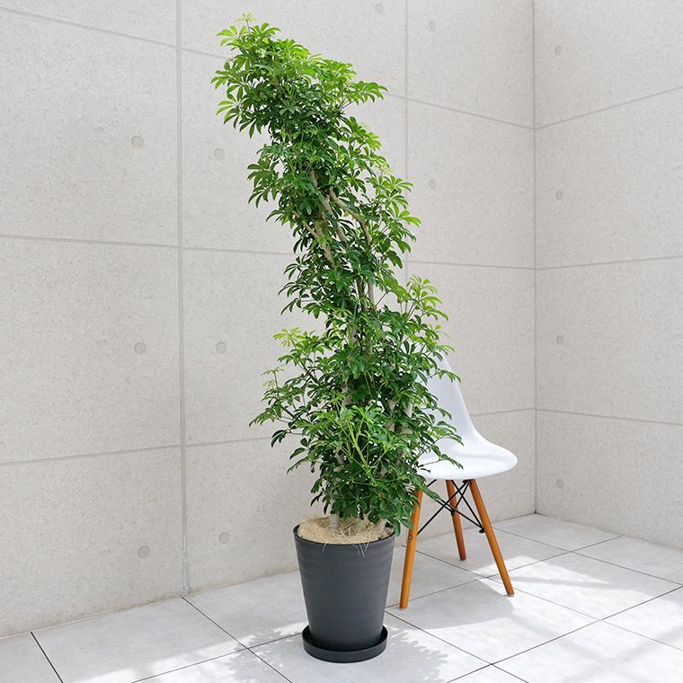 シェフレラ・コンパクタ 10号セラート鉢