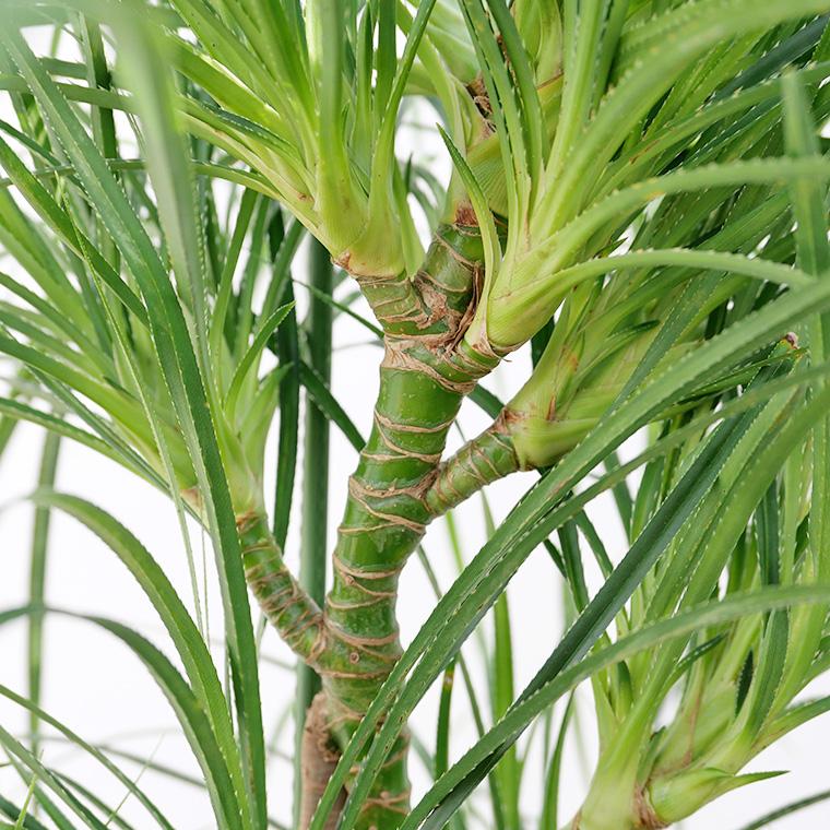 ヒメタコノキ(パンダナス) 樹形の写真