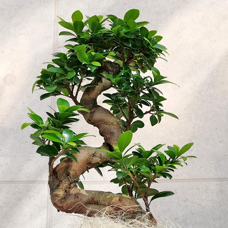 ガジュマル(多幸の樹)曲がり 幹の写真