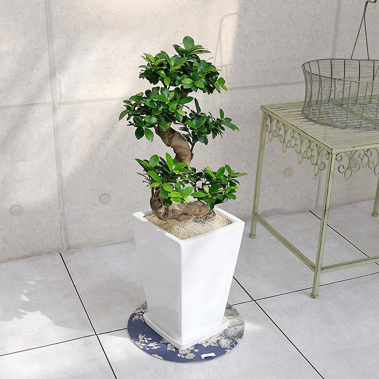 ガジュマル(多幸の樹)曲がり 白角陶器鉢植え
