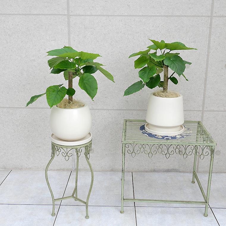 フィカス・ウンベラータ 陶器鉢植え・Mサイズ
