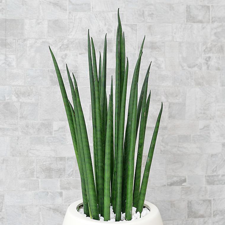 サンスベリア・バキュラリス(ミカド) 葉の写真