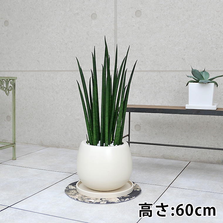 サンスベリア・バキュラリス(ミカド) 陶器鉢植え・Mサイズ(マットシリーズ/ムーン)