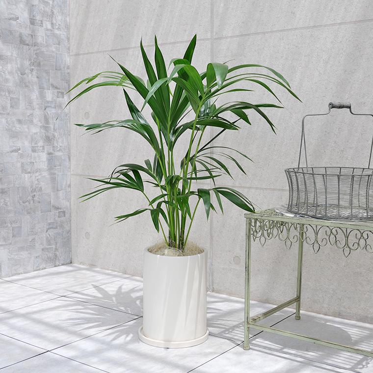 ケンチャヤシ 陶器鉢植え(マットシリーズ/ロングシリンダー)