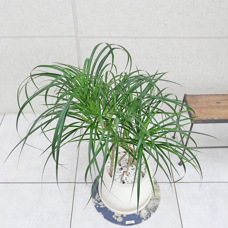 姫タコノキ(パンダナス)-001 陶器鉢植え・Mサイズ(マットシリーズ/ムーン)