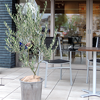 オリーブなどの屋外向け植物