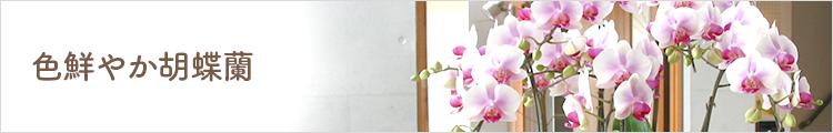 色鮮やか胡蝶蘭