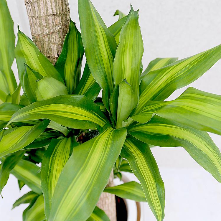ドラセナ・マッサンゲアナ(幸福の木) 葉の拡大