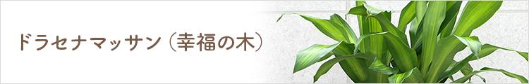 ドラセナマッサン(幸福の木)