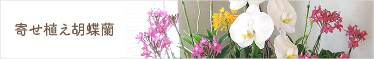 寄せ植え胡蝶蘭